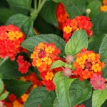 MG Plum smells like this vibrant lantana looks.