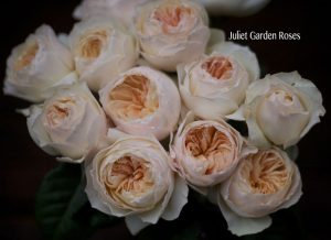 There's no discernible rose note in it, but Floral Romantique smells like these David Austin Juliet roses look.
