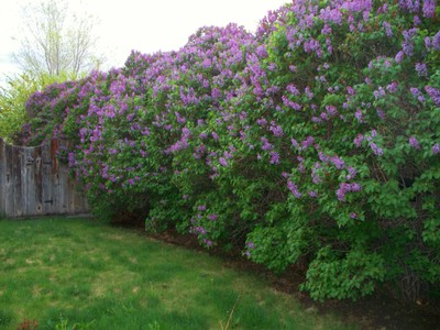 Image Gallery Lilac Bushes Types