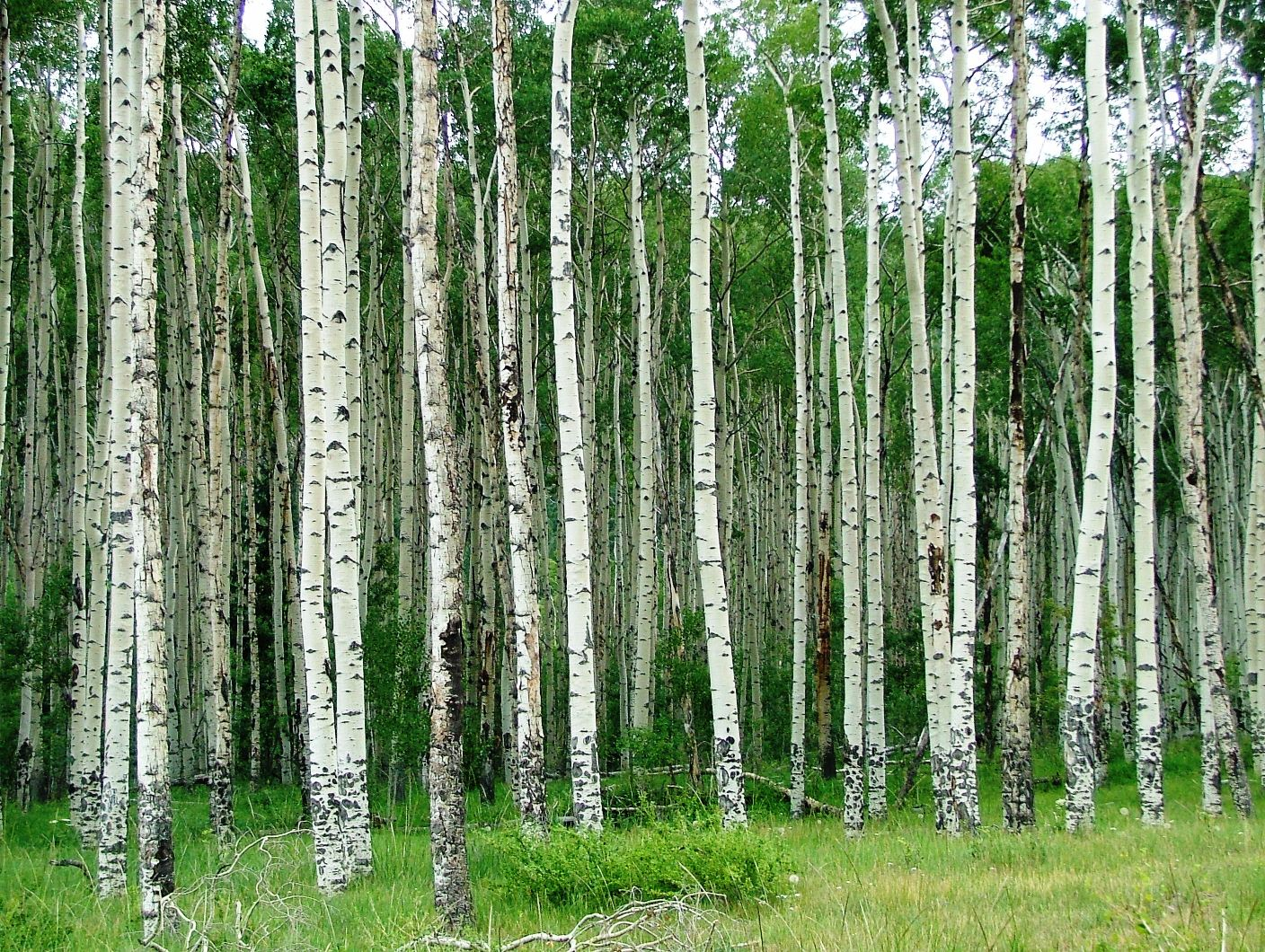 Young aspen trees aspen for women smells more like conifers to me